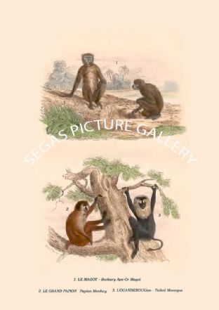 LE MAGOT - Barbary Ape Or Magot, LE GRAND PAPION - Papion Monkey & Lion-Tailed Macaque
